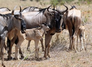 Picture of Wildebeest and her newborn calf in Tarangire National Park.