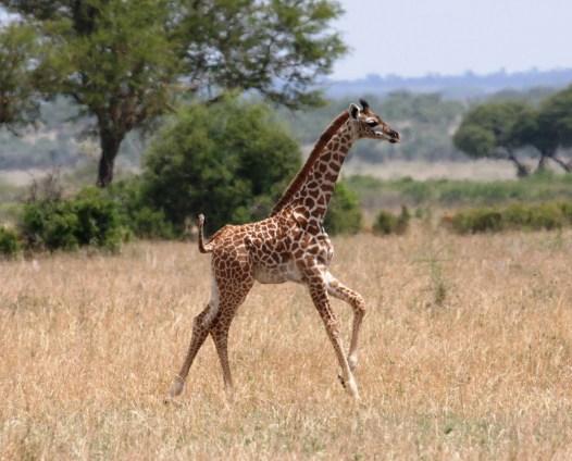 Giraffe calf in Tarangire, Tanzania.