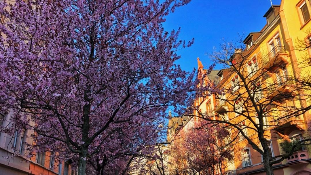 Kirschblüte an der Bertastrasse in Zürich, März 2019