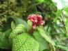 Nebelwald-Blume