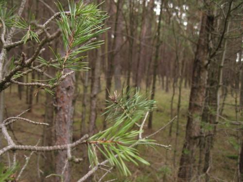 Darsser Nadel-Wald
