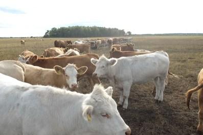 Kühe und Kälbchen genießen die riesigen Weiden