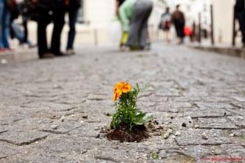guérilla gardening tournesol paris 1er Mai - Pierre Morel11