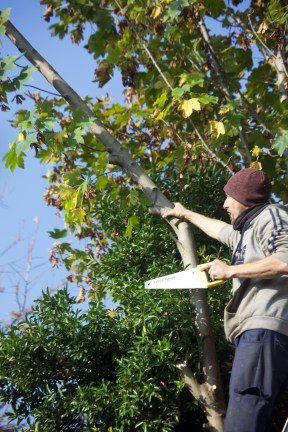 Aaron pruning sycamore 1