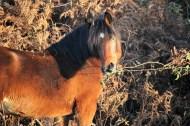 Pony pulling bramble