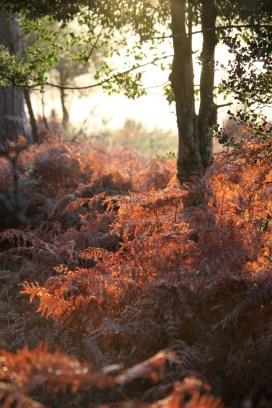 Bracken backlit - mist in background