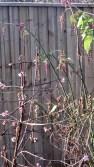 Viburnum Bodnantense 'Dawn' and Leycesteria