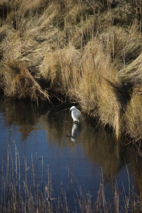 Egret and reflection 1