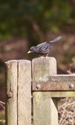 Blackbird 2