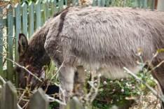 Donkey in garden 1