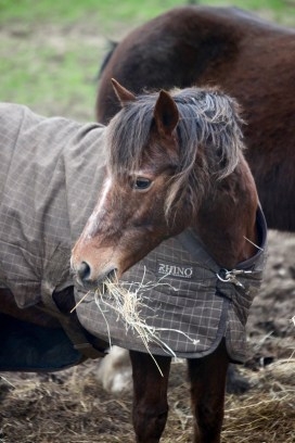 Pony eating hay 4