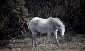 Pony and burnt gorse 1