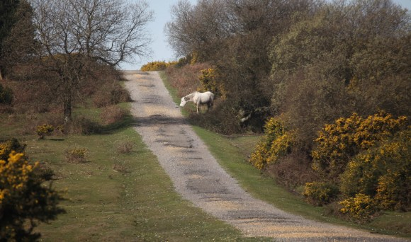 Pony and gorse 2