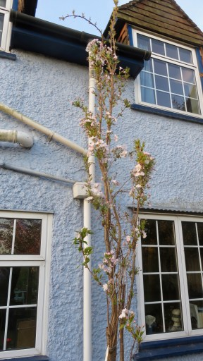 Prunus Amanogawa 1