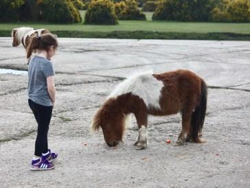 Child feeding Shetland pony 1
