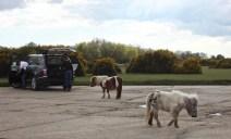 Shetland ponies in car park 1