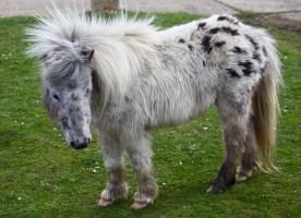British spotted pony 1