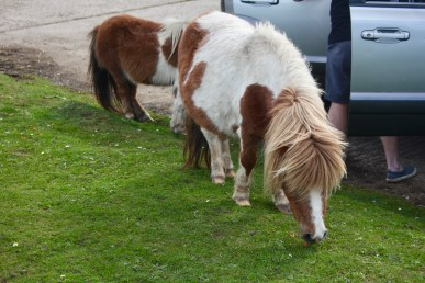 Shetland ponies eating carrots 1
