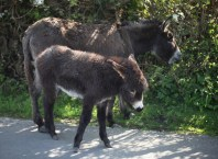 Donkey and foal 3