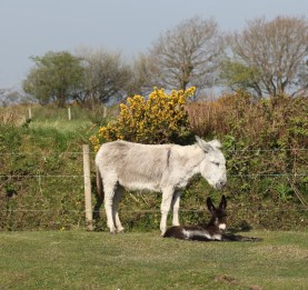 Donkey and foal 5
