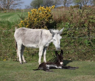 Donkey and foal 6