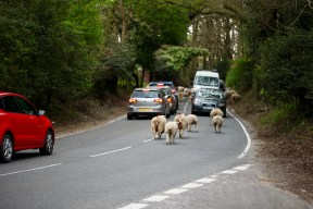 Sheep on road 7