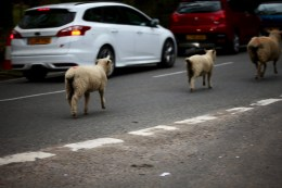Sheep on road 13