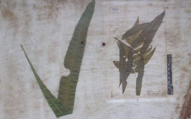 Exposição 'O Jardim Colaborativo' apresenta a flora catarinense do século XIX