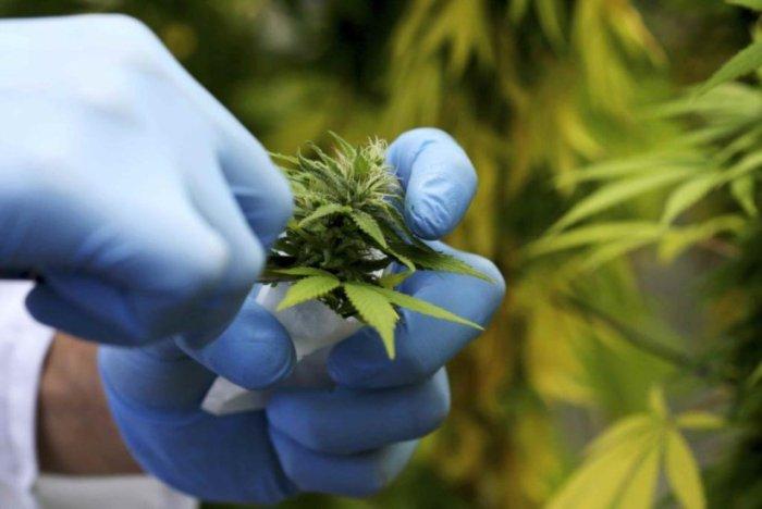 Canadenses da Tilray vão produzir canábis medicinal em Cantanhede
