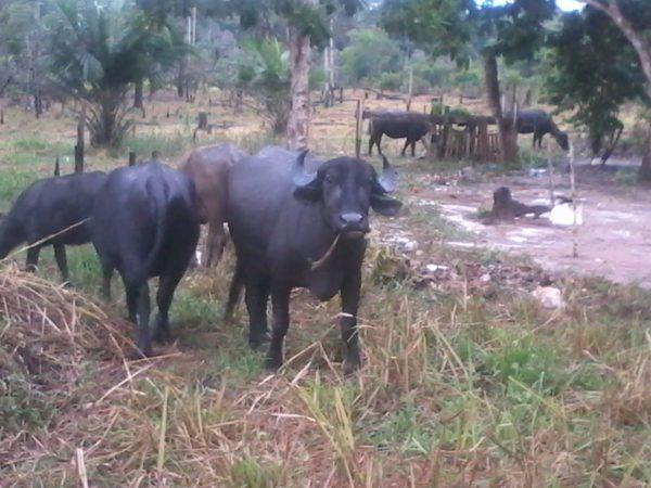 Indígenas do povo Mura apreendem búfalos em protesto contra destruição de aldeia e meio ambiente