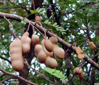 tamarindo na árvore / tamarinier (foto: criareplantar.blogspot.com)