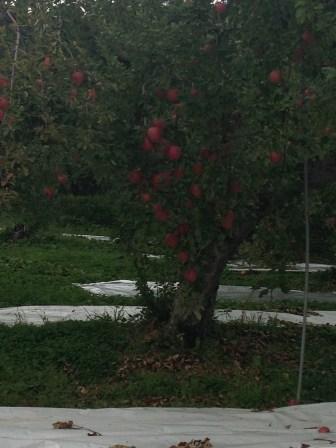 A heavily laden apple tree