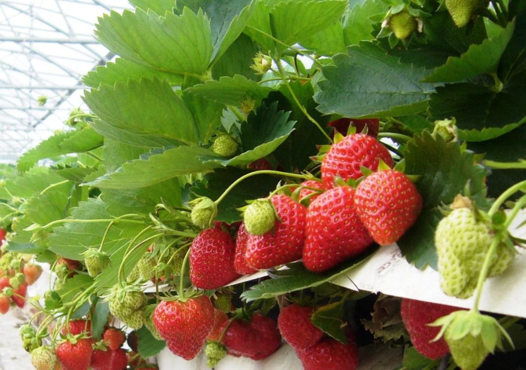mooie aardbeien