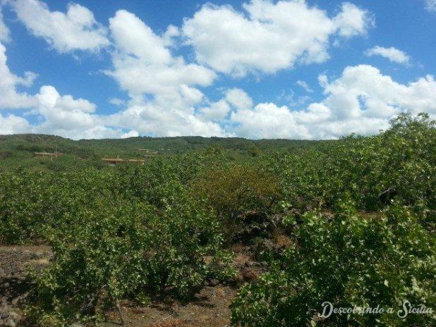 Plantações de pistache indicam que estamos nos arredores de Bronte