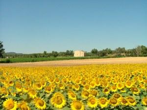 sunflower 1380913 - sunflower-1380913
