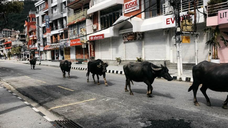 Búfalos campando por Pokhara durante el confinamiento, Nepal
