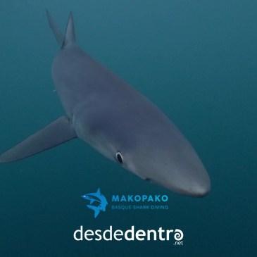 Tiburones y delfines en el  Cantábrico desde dentro