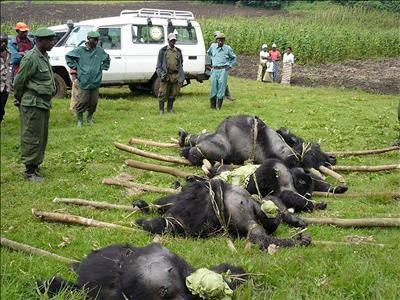 La fiebre del coltán ha disparado las matanzas de gorilas en el Congo, llevándolos al borde de la extinción