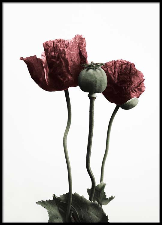 Red Poppy Flower Poster