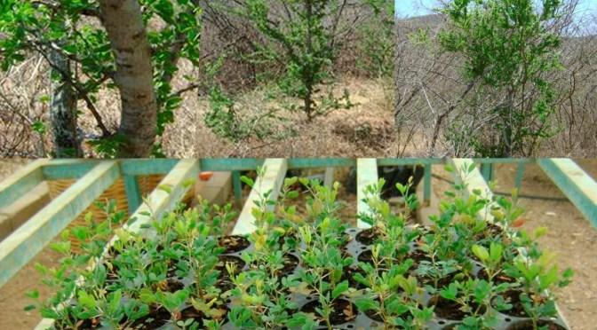 Árvore ideal para recuperação do semiárido