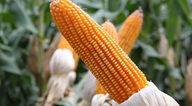 Biotecnologia e a engenharia genética contra a seca