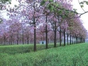 A árvore do futuro kiri japonês