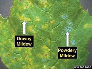 Folha doente mostrando a diferença entre o míldio (downy mildew) e o oídio (powdery mildew).