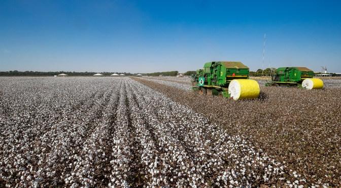 Algodão: desenvolvida variedade que economiza 30% em herbicidas