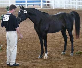 Many of the horses are also shown in Sport Horse. Khehanad Adhem+ with Lance Bowman.