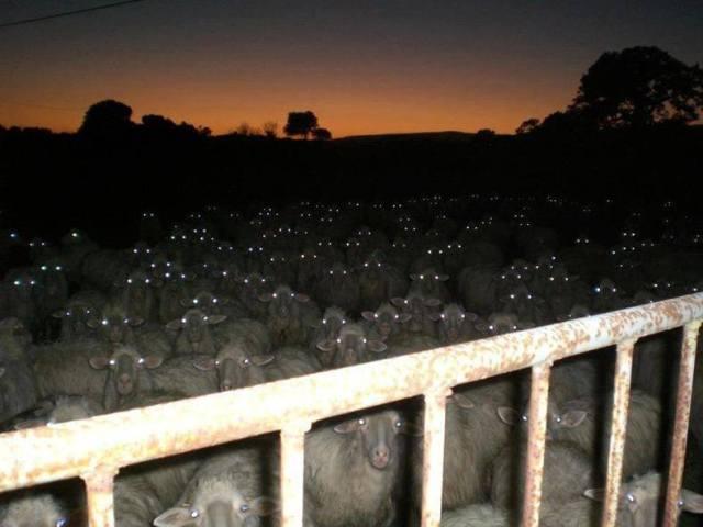 sheepincountry