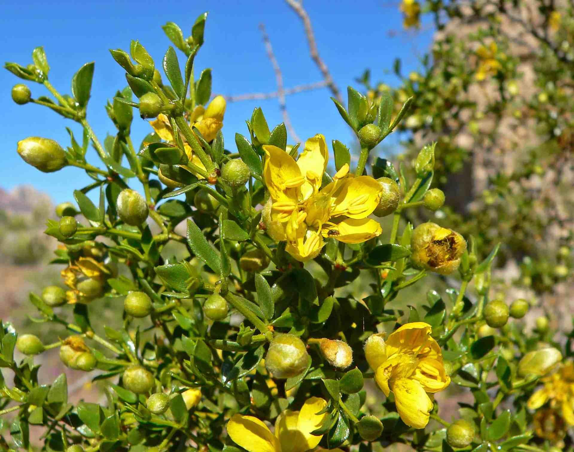 Creosote - Desert Horizon Nursery