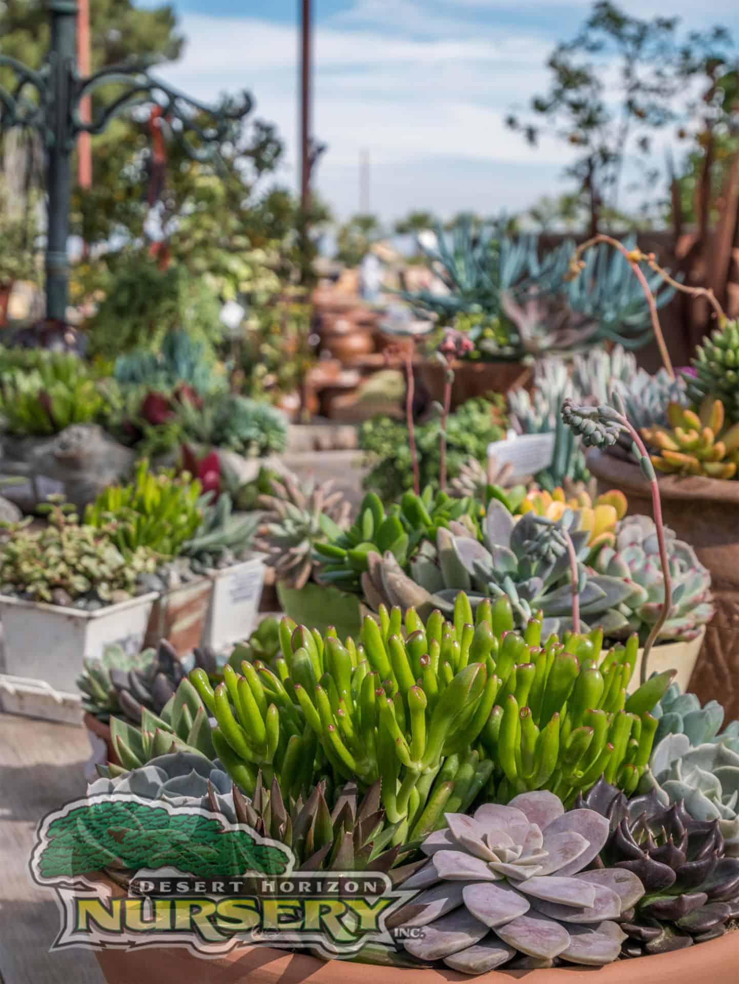 Succulents For Sale In The Phoenix Area Desert Horizon