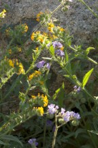 Curling yellow (Amsinckia) and blue (Phacelia) in the sunlight.