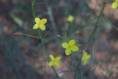 California suncup, now Eulobus but formerly Camissonia, in the Evening Primrose family.